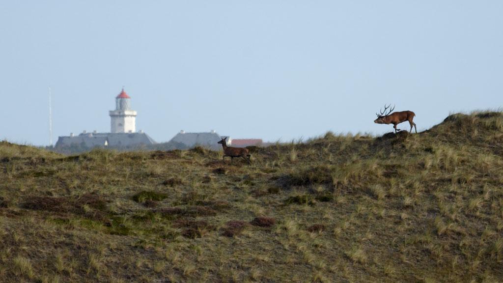 kronhjort-nationalpark_thy[1]